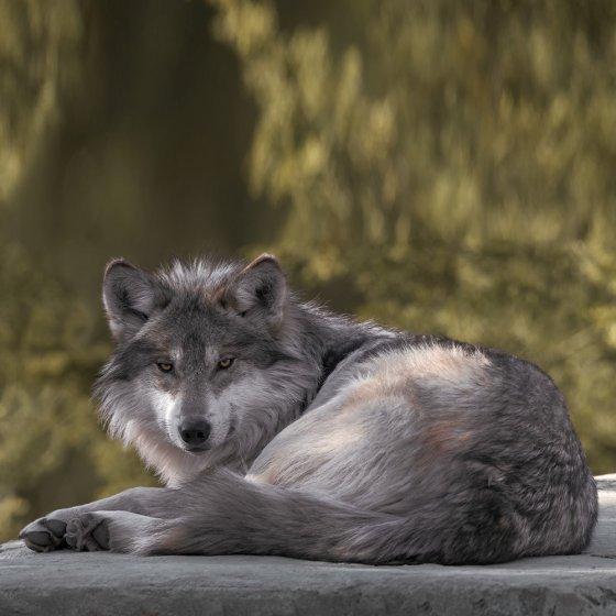 """Plaid van imitatiebond  """"Wolf"""""""